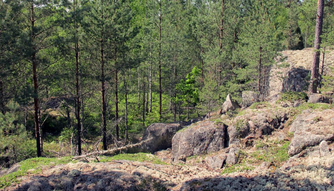 En ung tallskog växer på sydsidan om verksamhetsområdet